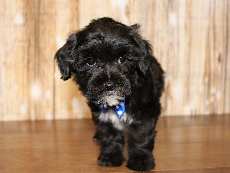 Mixed-DOG-Male-black and white-2333961-Pets N Pals Staunton, VA