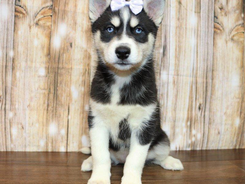 Siberian Husky-Female-black white-2338929-Pets N Pals Staunton, VA