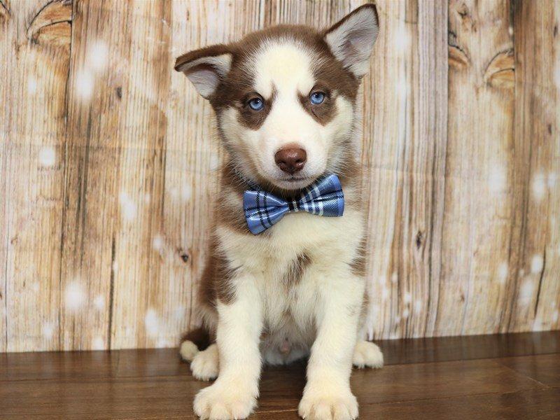 Siberian Husky-Male-red and white-2338930-Pets N Pals Staunton, VA