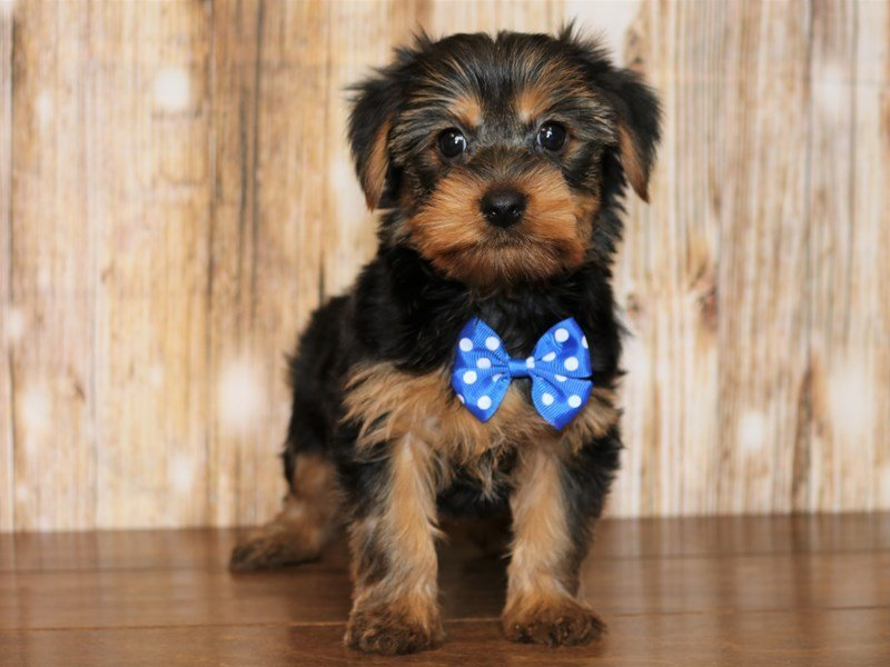 Yorkshire Terrier-Male-black and tan-2328619-Pets N Pals Staunton, VA