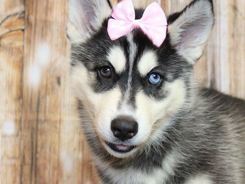 Siberian Husky-Female-black and white-2338928-Pets N Pals Staunton, VA