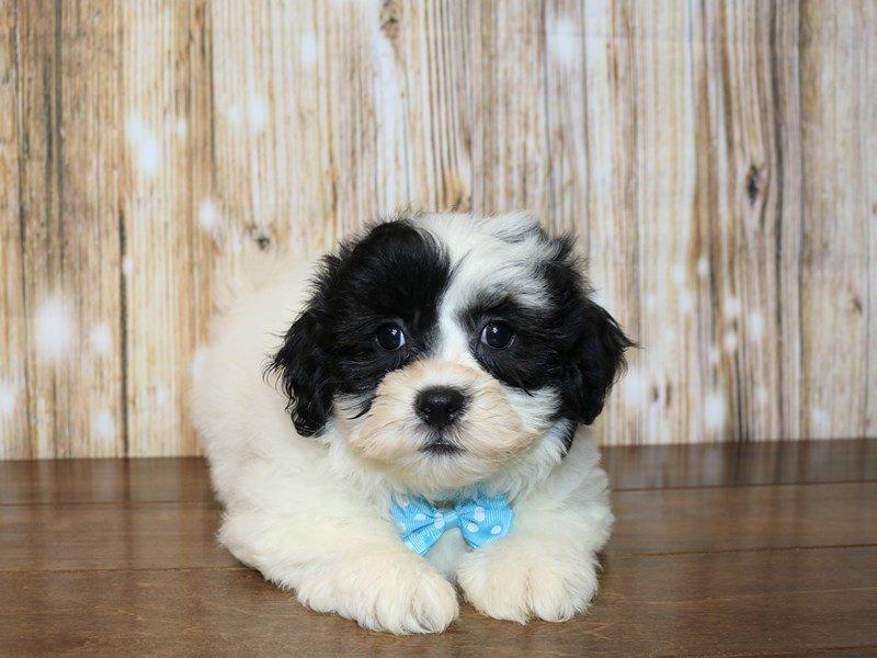 Teddy Bear-Male-black and white-2344548-Pets N Pals Staunton, VA