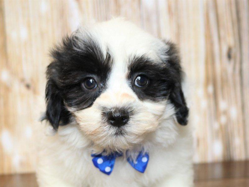 Teddy Bear-Male-black and white-2344549-Pets N Pals Staunton, VA