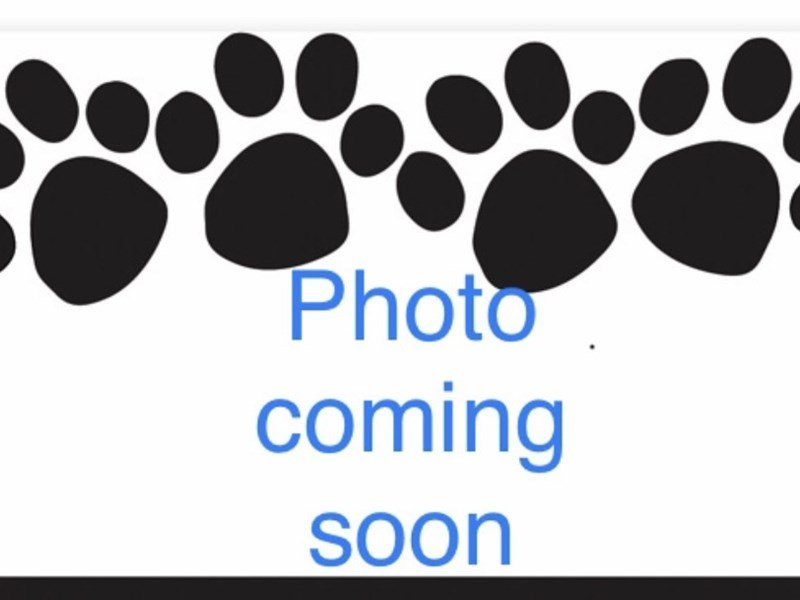 Alaskan Malamute-Female-black and white-2350220-Pets N Pals Staunton, VA