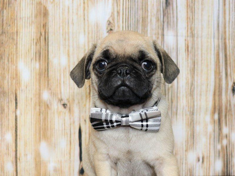 Pug-Male-fawn-2344563-Pets N Pals Staunton, VA