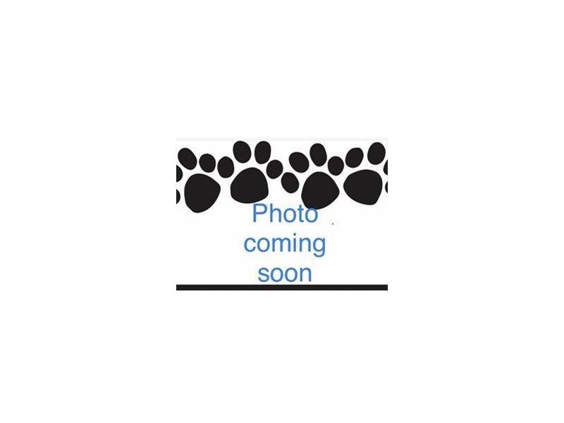 Shih Tzu-Male-Brown and white-2353800-Pets N Pals Staunton, VA