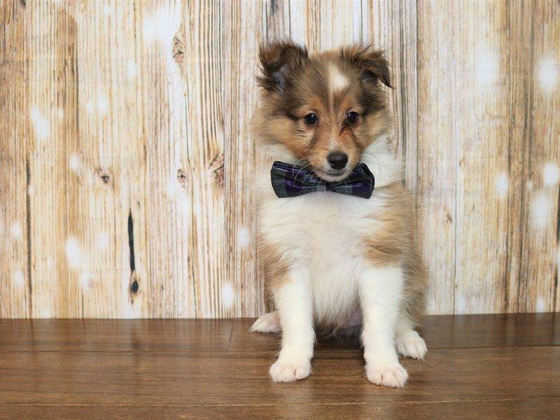 Shetland Sheepdog-Male-Tri color-2376954-Pets N Pals Staunton, VA