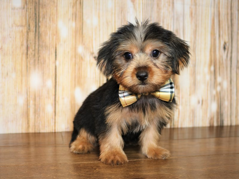Yorkshire Terrier-Male-black and tan-2527671-Pets N Pals Staunton, VA