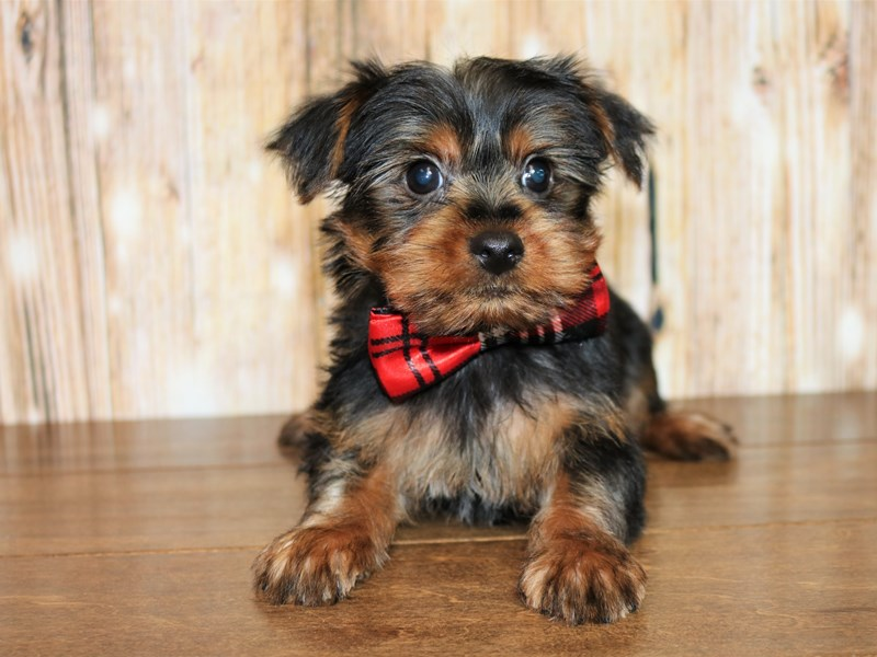 Yorkshire Terrier-Male-black and tan-2527689-Pets N Pals Staunton, VA
