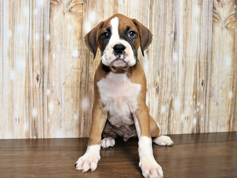 Boxer-Male-Fawn & White-2751115-Pets N Pals Staunton, VA