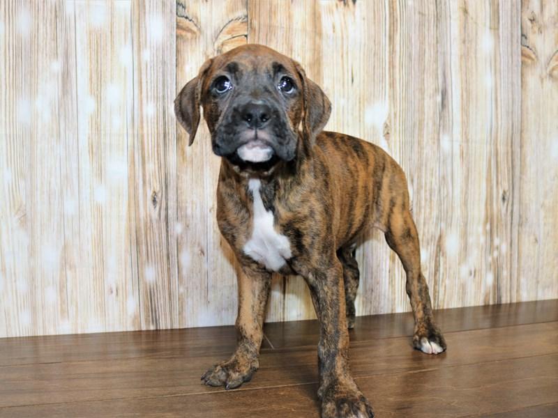 Boxer-Male-Brindle-2751121-Pets N Pals Staunton, VA