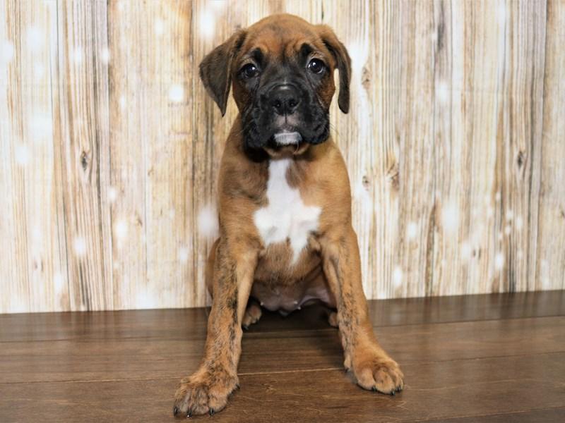 Boxer-Female-Brindle-2751119-Pets N Pals Staunton, VA
